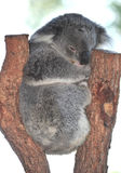 Australian Koala Bear sleeping tree,queensland stock photography