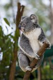 Australian Koala. Koala in Cairns Queensland Australia Tropical Zoo stock photos