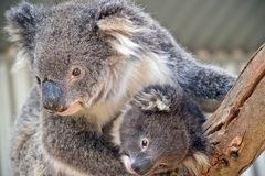 An Australian koala royalty free stock photo
