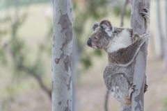 Australian koala. Climbing on the tree in the forest Royalty Free Stock Photography