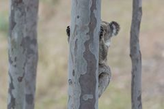 Australian koala. Is climbing on the tree in the forest royalty free stock photos