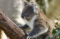 Australian Koala. Cute cuddly Australian Native animal the Koala Royalty Free Stock Photography