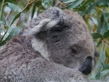 An Australian Koala is a marsupial animal Royalty Free Stock Image