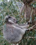 An Australian Koala is a marsupial animal Royalty Free Stock Photos