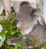 Australian koala Stock Photo
