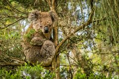 Australian koala resting in a tree in the afternoon in the summer stock photos