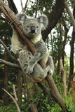 Australian koala sitting Royalty Free Stock Photos