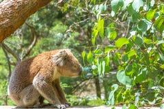 Australian Koala sitting Stock Photos
