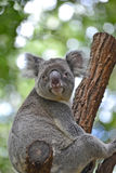 Australian koala sitting on a branch looking at viewer Royalty Free Stock Photography