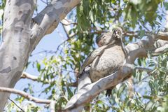Australian koala. Sitting on the tree in the forest stock photos