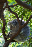 Australian koala in a tree Stock Photos