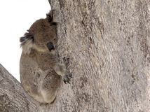 australian Koala in tree Royalty Free Stock Photos