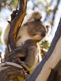 Australian Koala on a tree Royalty Free Stock Images