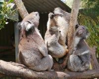 Australian Koalas Royalty Free Stock Photo