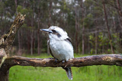 Australian Kookaburra royalty free stock images