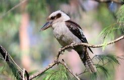 Australian Kookaburra. A laughing kookaburra, Dacelo novaeguineae perched on a branch Royalty Free Stock Photography