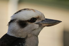 Australian Kookaburra Royalty Free Stock Photo