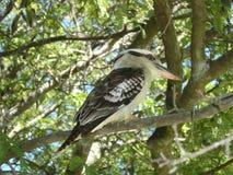 Australian Kookaburra. In tree Royalty Free Stock Image