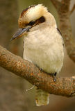 Australian Kookaburra Royalty Free Stock Photography