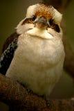 Australian Kookaburra. A shot of an Australian Kookaburra in the wild Royalty Free Stock Image