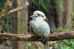 Australian Kookaburra Stock Photography