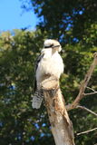 Australian Kookaburra bird sitting on tree branch Stock Photography