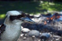 Australian Kookaburra closeup beside a campfire royalty free stock photos