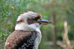 Australian Kookaburra Dacelo novaeguineae in profile. Close up profile of an Australian Laughing Kookaburra, Dacelo novaeguineae, a tree kingfisher stock photo