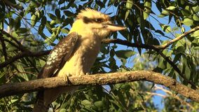 Australian kookaburra outside during the day. Australian kookaburra by itself resting outdoors during the day stock video footage