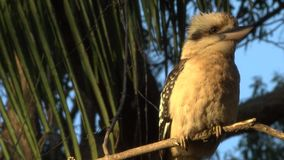 Australian kookaburra outside during the day. Australian kookaburra by itself resting outdoors during the day stock footage