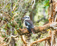 Australian Kookaburra Stock Images