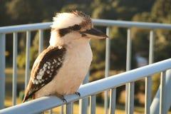 Kookaburra on a Fence Royalty Free Stock Image