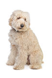 Australian Labradoodle Stock Photo