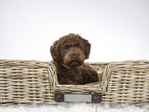 Australian labradoodle puppy dog portrait. royalty free stock photos