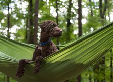 Australian Labradoodle in Hammock stock photo