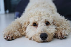 Australian Labradoodle Puppy. Close up of an Australian labradoodle puppy stock photo