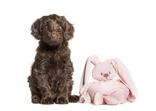 Australian Labradoodle and toy, 2 months old. Sitting in front of white background stock photos