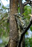 Australian lace monitor Royalty Free Stock Images