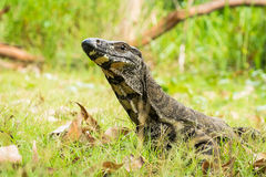 Australian Lace Monitor in the wild Stock Images