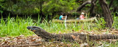 Australian Lace Monitor in the wild Royalty Free Stock Photos
