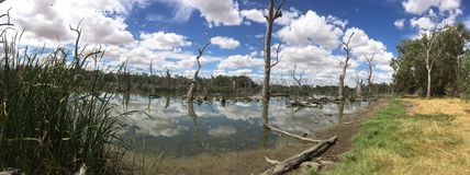 Australian lake side landscape. Beautiful scene of Australian lake and landscape. Dead trees in water surrounded by luscious healthy trees, plant life and Stock Photo
