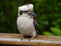 An Australian Laughing Kookabu Stock Images