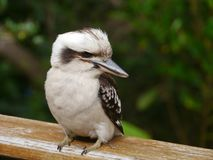 An Australian Laughing Kookabu Stock Photos