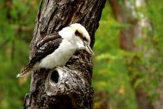 Australian Laughing Kookaburra. Resting on a tree Stock Photo