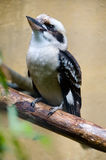Australian laughing kookaburra Royalty Free Stock Photography