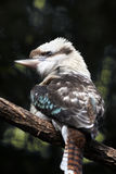 Australian Laughing Kookaburra Bird Perched on a Tree Branch Stock Photography
