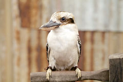 Australian laughing kookaburra on branch Royalty Free Stock Photography