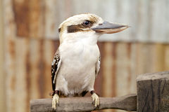 Australian laughing kookaburra on branch Royalty Free Stock Images