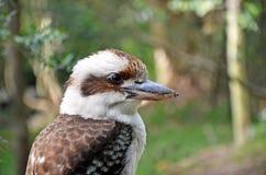 Australian Laughing Kookaburra (Dacelo novaeguineae) Stock Image