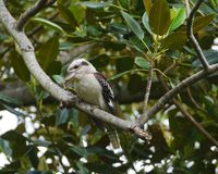 An Australian Laughing Kookaburra Royalty Free Stock Images